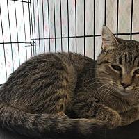 Adopt A Pet :: Sybil - Saint Robert, MO