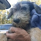 Adopt A Pet :: Mansi (Native American Tribe Puppies)