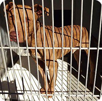 Labrador Retriever/Staffordshire Bull Terrier Mix Dog for adoption in San Diego, California - Forest URGENT