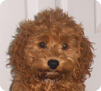 Jacksonville Fl Cockapoo Meet Amber A Pet For Adoption