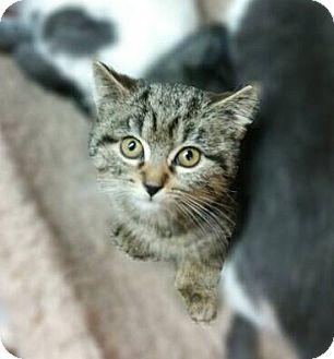 Domestic Shorthair Kitten for adoption in Long Beach, New York - Morgan