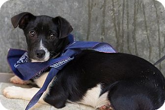 Dachshund/Chihuahua Mix Puppy for adoption in North Brunswick, New Jersey - Thor