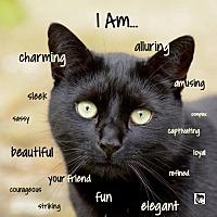 Adopt A Pet :: Feline Bo (2) - Remus, MI