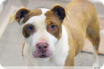 American Pit Bull Terrier/Shar Pei Mix Dog for adoption in Berkeley, California - Gretchen