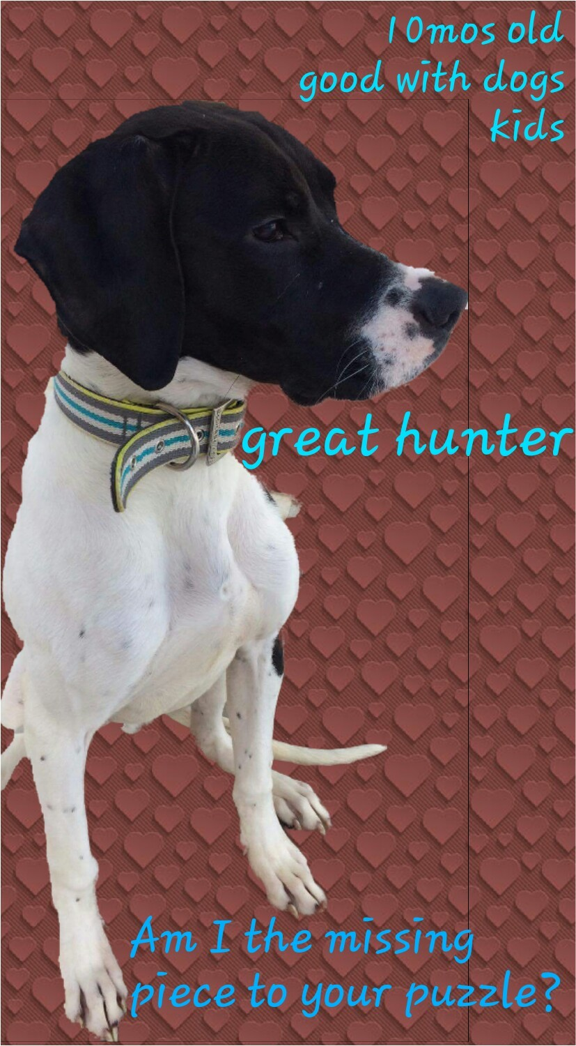 Sioux Falls Sd German Shorthaired Pointer Meet Remi A Pet For