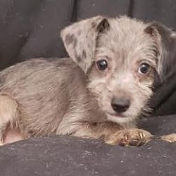 Cairn Terrier Puppies for Sale in Washington - Adoptapet com