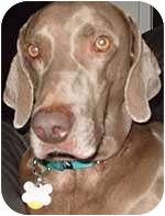 Weimaraner Dog for adoption in St. Louis, Missouri - Zeus