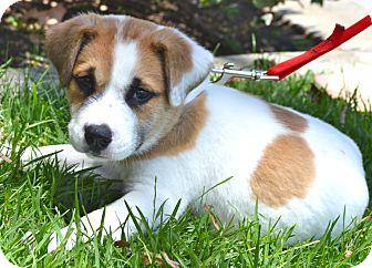 Los Angeles Ca St Bernard Meet Beethoven A Pet For Adoption