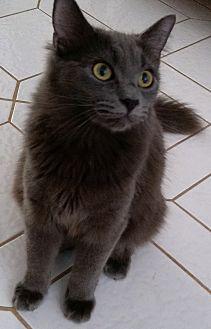 Russian Blue Kitten for adoption in Sunny Isles Beach, Florida - Carmen Silva