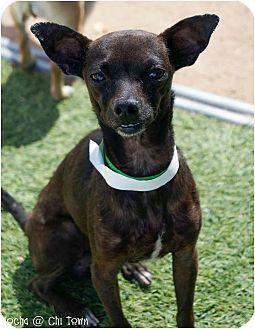 Phoenix Az Chihuahua Meet Mocha A Pet For Adoption