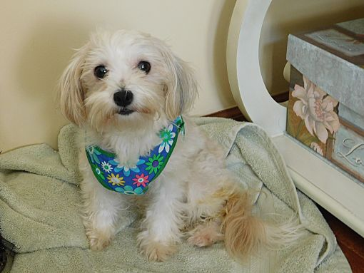 West Deptford, NJ - Maltese  Meet Cindy a Pet for Adoption