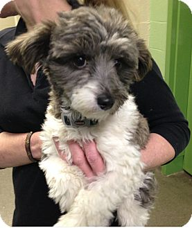 Nashville Tn Havanese Meet Margaret A Pet For Adoption