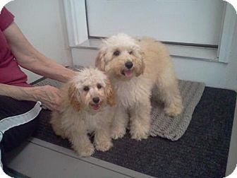 Killingworth Ct Poodle Miniature Meet Bichonpoodle Puppiess