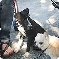 Adopt A Pet :: Alice - Brooksville, FL