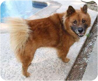 Sacramento, CA - Chow Chow  Meet Red a Pet for Adoption