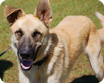 Preston Ct German Shepherd Dog Meet Racer A Pet For Adoption