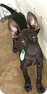 Terrier (Unknown Type, Small)/Miniature Pinscher Mix Dog for adoption in Beaumont, Texas - Yoda