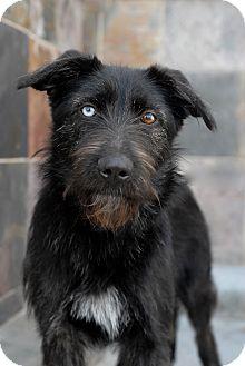 Los Angeles Ca Irish Wolfhound Meet Kiki A Pet For