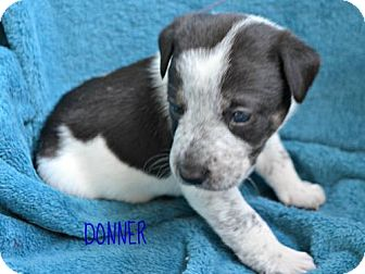 Labrador Retriever/Collie Mix Puppy for adoption in Yreka, California - Donner