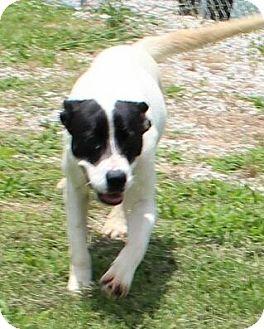 Labrador Retriever/Border Collie Mix Puppy for adoption in Brattleboro, Vermont - Molly (Urgent)