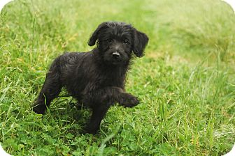 Labradoodle Mix Puppy for adoption in Auburn, California - Daisy May