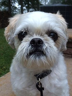 Syracuse, NY - Shih Tzu  Meet Bandi a Pet for Adoption