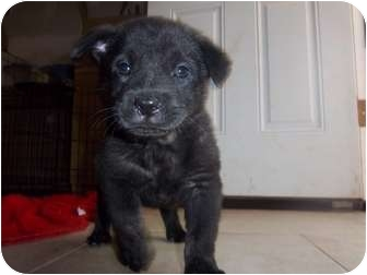 Labrador Retriever Mix Puppy for adoption in Westminster, Colorado - Lucky