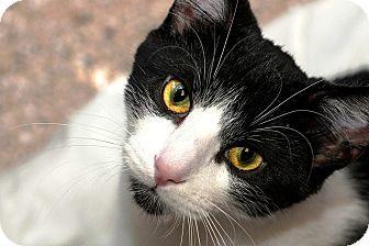 Domestic Shorthair Kitten for adoption in Lombard, Illinois - Mick Jagger