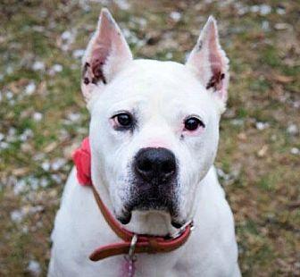 Dogo Argentino Mix Dog for adoption in Pontiac, Michigan - Sheba
