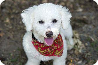 Edmonton Ab Miniature Poodle Meet Ollie A Pet For Adoption