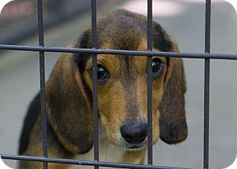 Beagle/Basset Hound Mix Puppy for adoption in Reidsville, North Carolina - Tommy