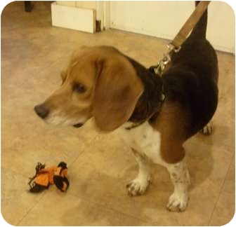 Beagle Mix Dog for adoption in Youngwood, Pennsylvania - Kramer