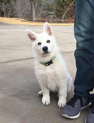 Killeen Tx German Shepherd Dog Meet Wolfgang A Pet For Adoption