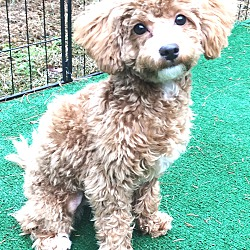 Dover, MA - Poodle (Toy or Tea Cup)  Meet Kaia a Pet for
