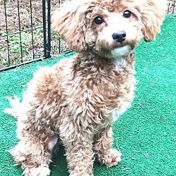 Bichon Frise Puppies for Sale in Massachusetts - Adoptapet com