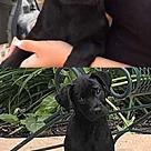 Adopt A Pet :: Pomchi Lizzie