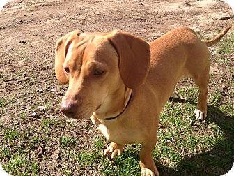 New Milford Ct Dachshund Meet Peanut A Pet For Adoption