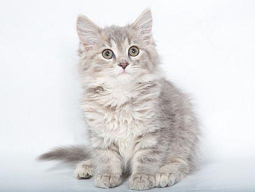Nashville Tn Maine Coon Meet Athena A Pet For Adoption