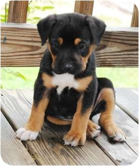 Paintsville KY Rottweiler Meet Charlie A Dog For Adoption - Terrier and rottweiler