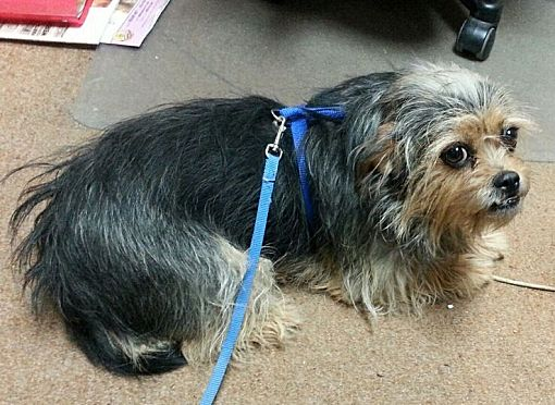Greeley Co Yorkie Yorkshire Terrier Meet Muffy A Pet For Adoption