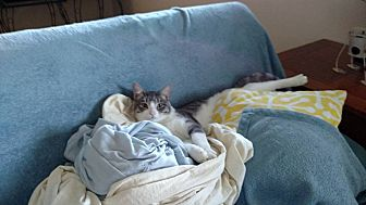 Domestic Shorthair Cat for adoption in Rochester, Minnesota - Dray