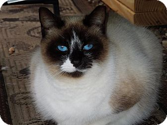 Snowshoe Cat for adoption in Chattanooga, Tennessee - Reese