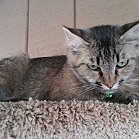 Adopt A Pet :: Miss Kitty Glitter - Madera, CA
