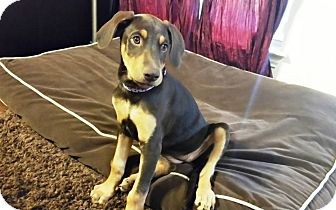 Doberman Pinscher Puppy for adoption in Fort Worth, Texas - Meg