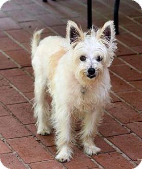 Atlanta Ga Westie West Highland White Terrier Meet Nellie A Pet