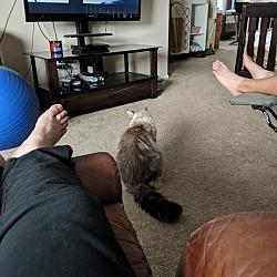Himalayan Kittens for Sale in Arizona - Adoptapet com