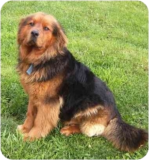 Coudersport Pa Chow Chow Meet Bear A Pet For Adoption