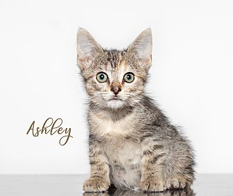 Adopt A Pet :: Ashley  - Houston, TX