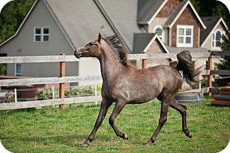 Arabian/Pony - of America Mix for adoption in Gresham, Oregon - Lilly