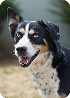 Husky/Bernese Mountain Dog Mix Dog for adoption in Rockaway, New Jersey - Adonis